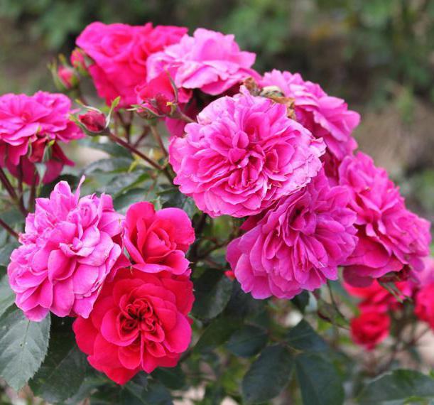 Rosa floribunda Sangia