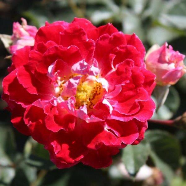 Rosa floribunda Sparkling Ruffles