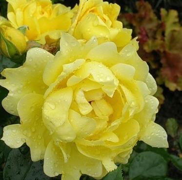 Rosa floribunda Splendid Ruffles