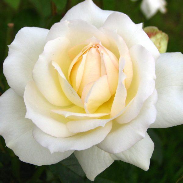 Rosa floribunda Tchaikovski
