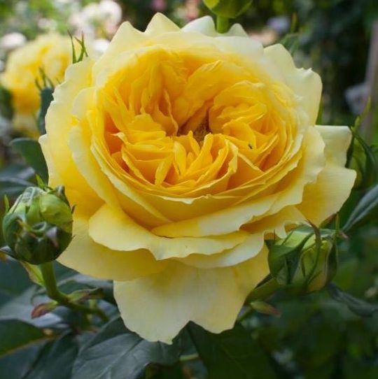 Rosa floribunda Toulouse Lautrec
