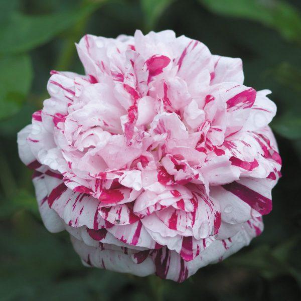 Rosa floribunda Variegata di Bologna
