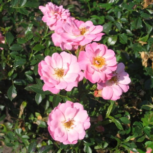 Rosa groundcover Easy Cover