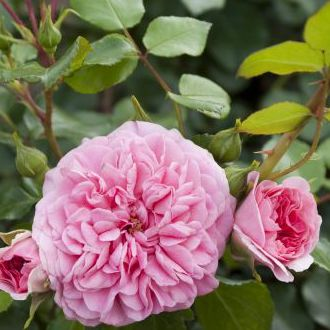 Rosa groundcover Pink Swany