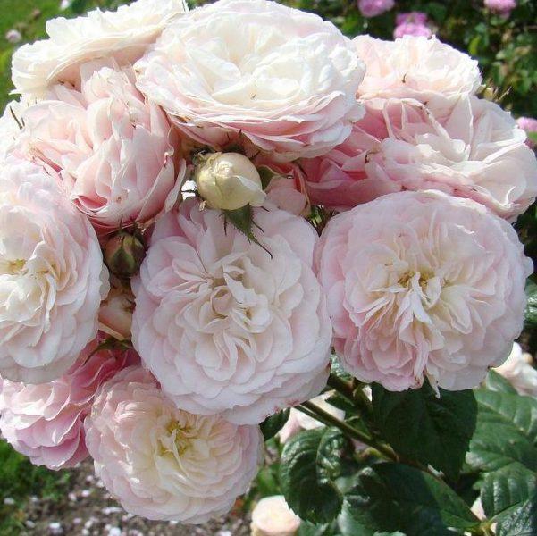 Rosa musk hybrid Bouquet Parfait