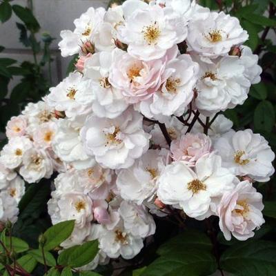 Rosa musk hybrid Jean Stephenne