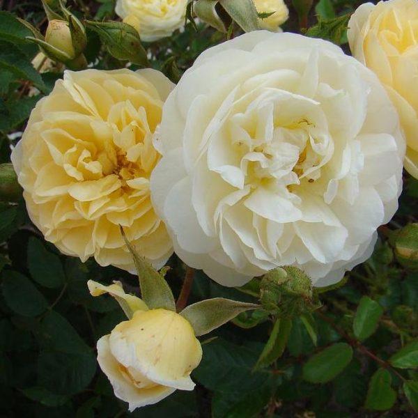Rosa musk hybrid La feuillerie