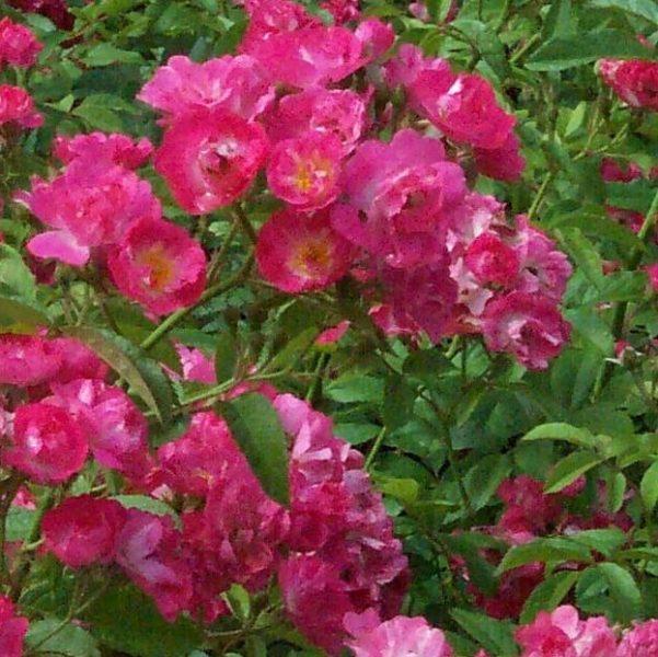 Rosa musk hybrid Robinhood