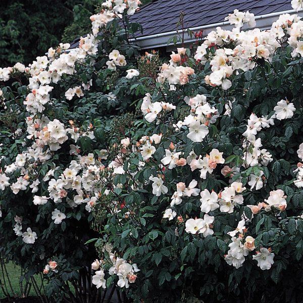 Rosa musk hybrid Sally Holmes