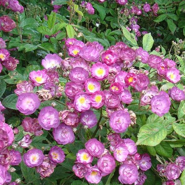 Rosa musk hybrid Sibelius