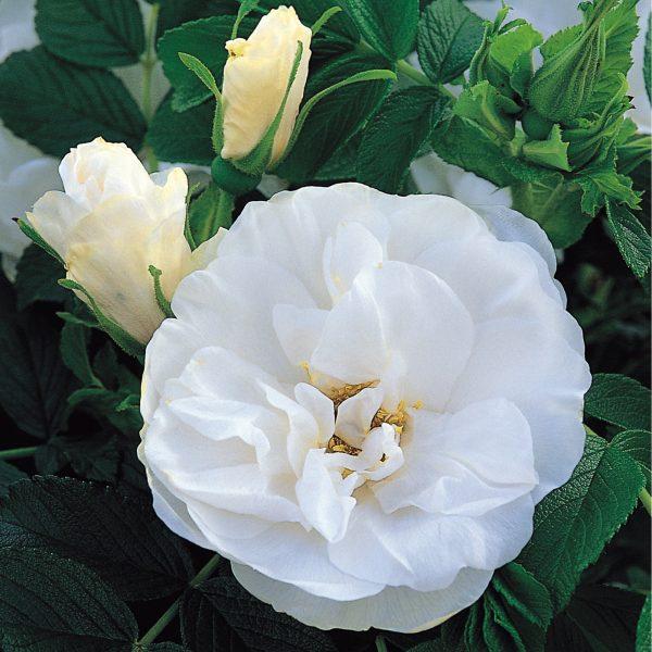 Rosa park Blanc Double de Coubert