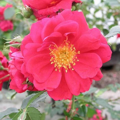 Rosa park Henry Kelsey