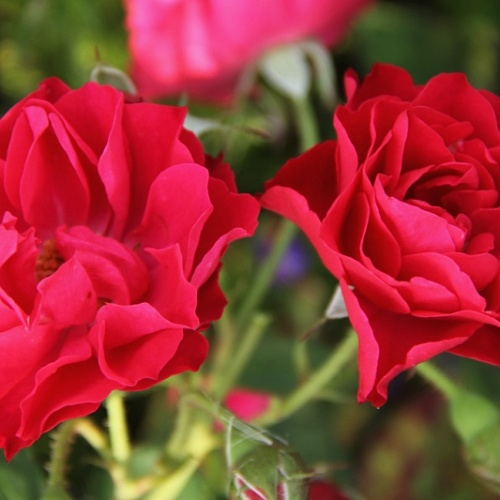 Rosa park Morden Amorette