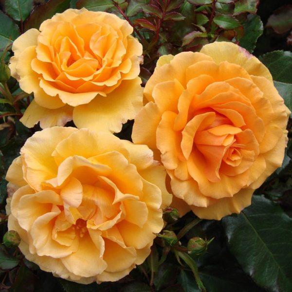 Rosa tea hybrid Amber Queen