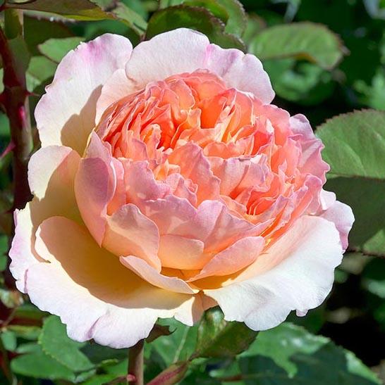 Rosa tea hybrid Charlene de Monacо