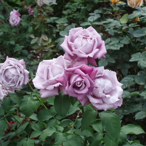 Rosa tea hybrid Charles de Gaulle