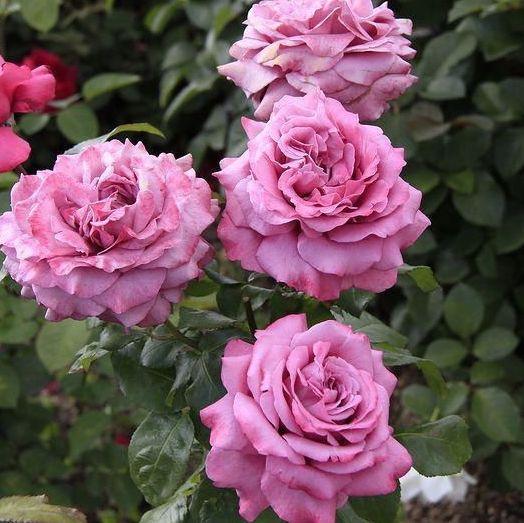 Rosa tea hybrid Claude Brasseur