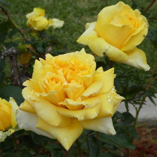 Rosa tea hybrid Gina Lollobrigida