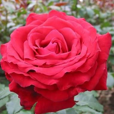 Rosa tea hybrid Isabella Rossellini