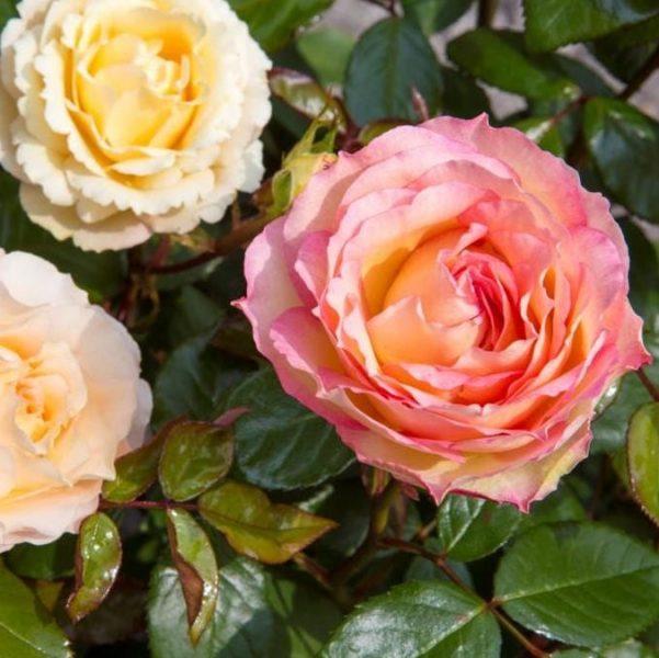 Rosa tea hybrid Jalitah