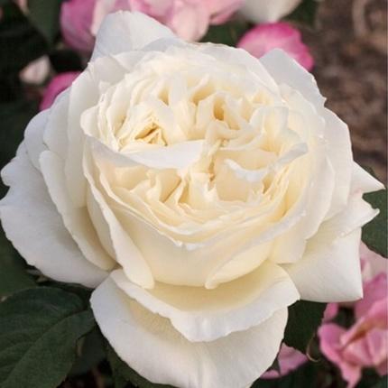 Rosa tea hybrid Jeanne Moreau
