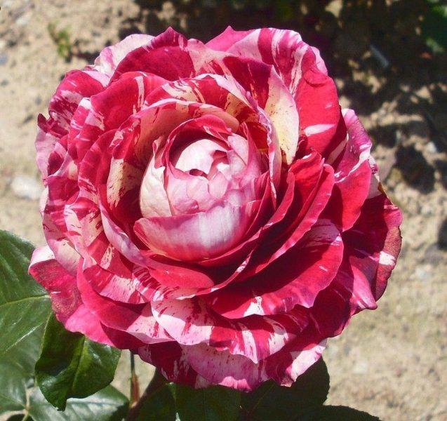 Rosa tea hybrid Julio Eglesias