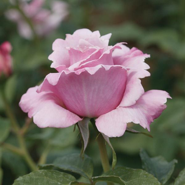 Rosa tea hybrid Millie Rose