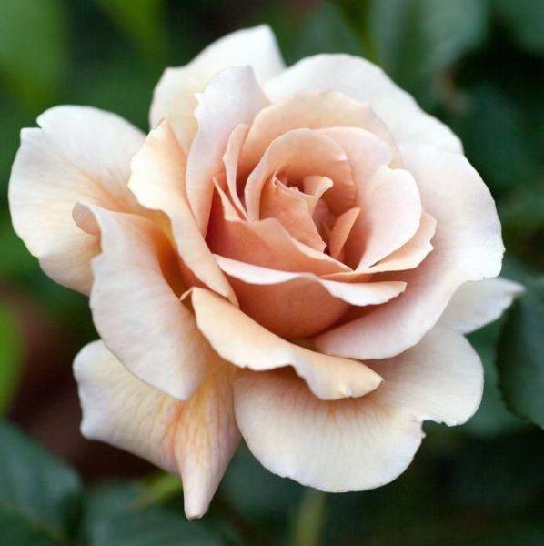 Rosa tea hybrid Paul Ricard