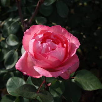 Rosa tea hybrid Pink Panther