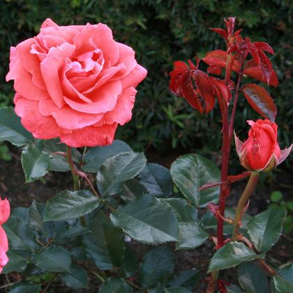 Rosa tea hybrid Prinsesse Marie
