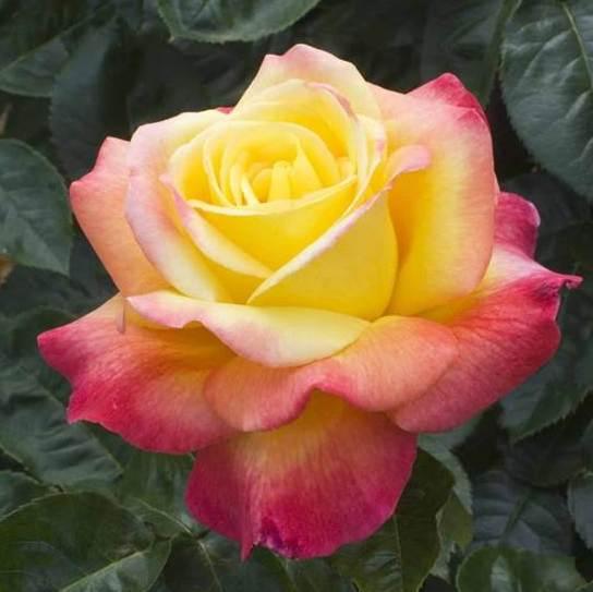 Rosa tea hybrid Pulman O. Express