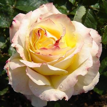 Rosa tea hybrid Trinidad