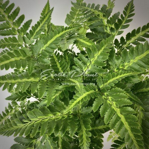 Rumohra adiantiformis variegata