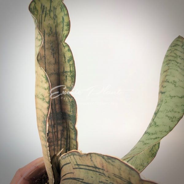 Sansevieria Pipato (new)