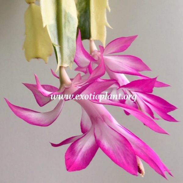 Schlumbergera X Madame Butterfly variegated