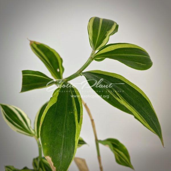Costus sp. (white variegated) №1