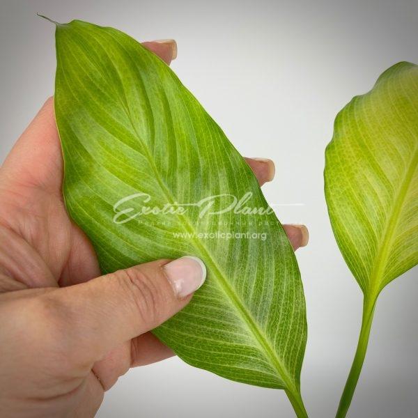 Spathiphyllum blandum Spilt Milk