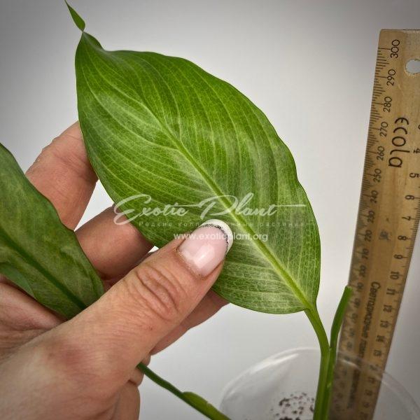 Spathiphyllum blandum Spilt Milk narrow leave clone#10