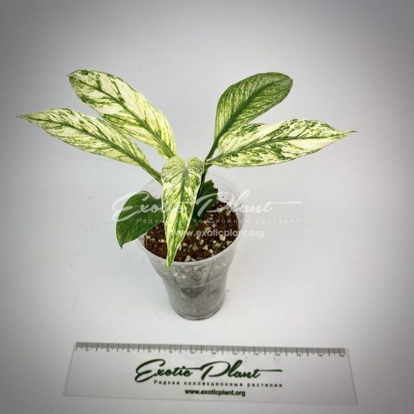 Spathiphyllum cannifolium (White variegated) narrow leave mutation