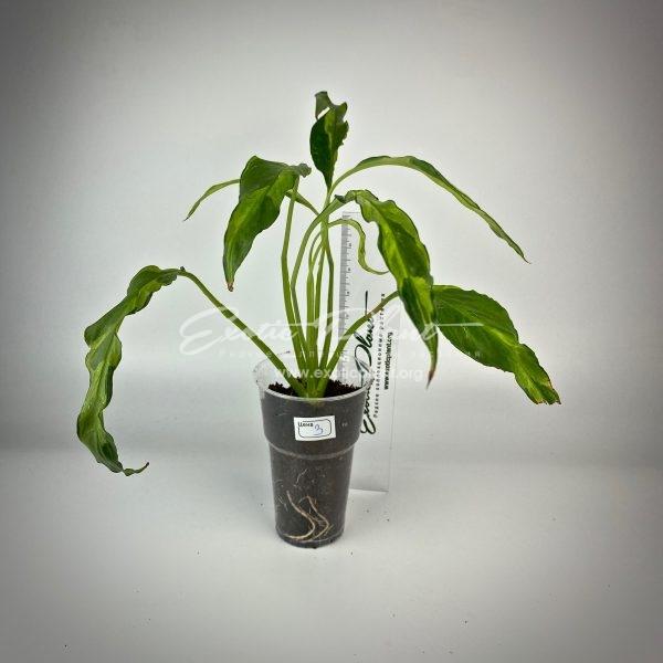 Spathiphyllum hybrid ex Indonesia