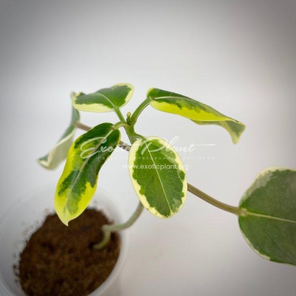 Stephanotis floribunda Alpine = stephanotis floribundum variegated