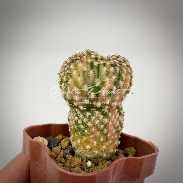 Sulcorebutia arenacea variegated