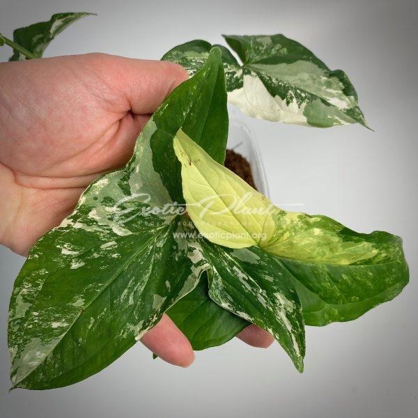 Syngonium albo-variegatum