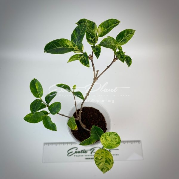 Wrightia antidysenterica variegated