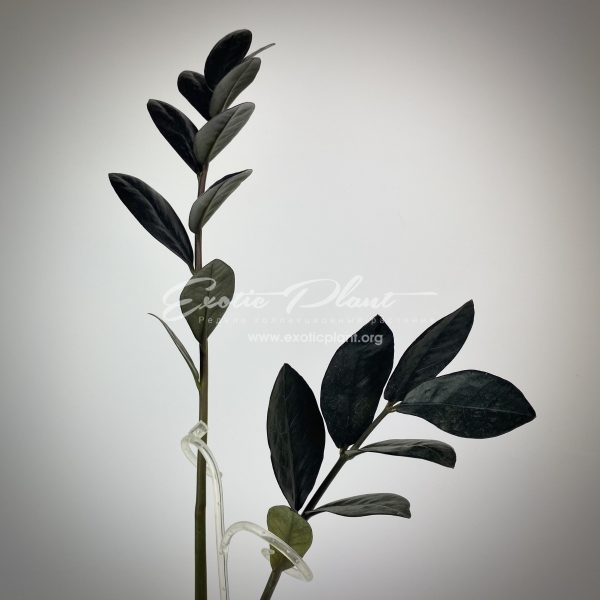 Zamioculcas black leaves ex Korea