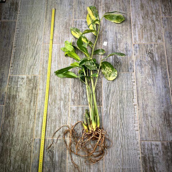 Zamioculcas zamifolia lemon variegated (long leaf)