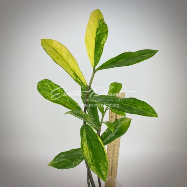 Zamioculcas zamiifolia white variegated (long leaf)