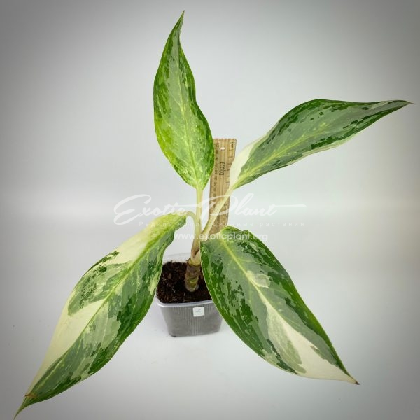 aglaonema Blizzard