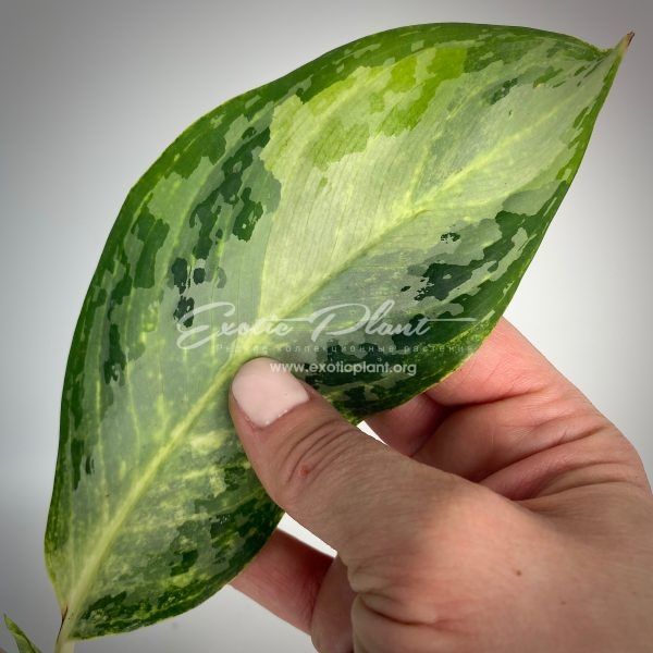 aglaonema Blizzard#2
