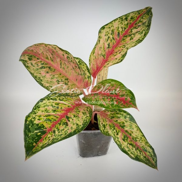 aglaonema Ten Colors